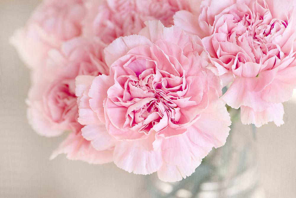 Fresh pink carnations
